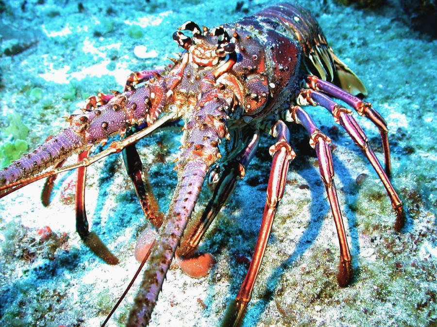 Closed season: Sea eggs and turtles 1 April; Lobsters 1 May